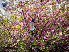 Pink Blossom in Notting Hill (TommoSnaps) Tags: notting hill blossom pink london uk city flower