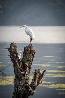 two cranes on Lake Atítlan