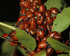 Ladybug cluster (lenswrangler) Tags: lenswrangler digikam ladybug ladybird macromondays speckled coccinellidae leaf bug spots macro