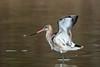Pittima reale - Limosa limosa (Alberto Piselli) Tags: racconigi avifauna centrocicogneeanatidilipu
