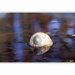 Schneckenhaus in Pfütze (horstmall) Tags: schneckenhaus snailshouse shell wasser eau water reflection reflektion spiegelung wald forest forèt schwäbischealb jurasuabe swabianalps winter hiver horstmall westerheim