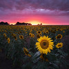 Out in the paddock (beaugraph) Tags: sunflower field victoria australia sunset farm farming rural sunflowers landscape flower colourful fiji fujixt2 summer