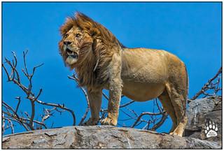 Serengeti Lion 021616-0880-W.jpg