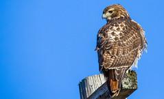 Red Tail Hawk (PravinDwiwedi) Tags: hawk redtailhawk birdphotography birdlovers birds birdsofpa birdsofphily birdlover raptors canon5dmark3 tamron150to600mm manualmode bluesky naturalbeauty naturephotography johnheinznwr ngg