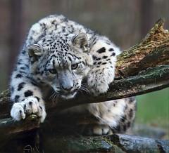Barscha (babsbaron) Tags: nature tiere animals cats katzen leopard schneeleopard snowleopard young mädchen girl bigcats raubkatzen grosskatzen lüneburg lüneburgerheide wildpark säugetiere mammals