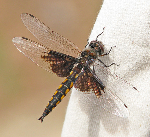Mantled baskettail - from South Carolina (Epitheca semiaquea)