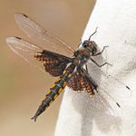 Mantled baskettail - from South Carolina (Epitheca semiaquea) thumbnail
