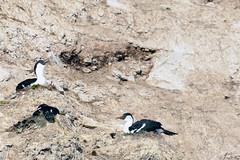 Brown_2017 12 11_2840 (HBarrison) Tags: harveybarrison hbarrison antarctica antarcticpeninsula brownstation paradiseharbor antarcticshag taxonomy:binomial=phalacrocoraxbransfieldensis arctic antarctic arcticantarctic
