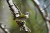 Tennessee Warbler DSC_3072 (Ron Kube Photography) Tags: tennessee warbler tennesseewarbler bird birds nature fauna ornithology calgary alberta canada calgaryalberta nikon nikond500 d500 ronaldok globalbirdtrekkers oreothlypisperegrina ronkubephotography