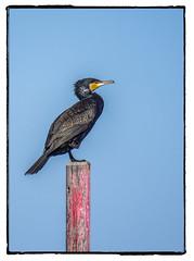 CORMORAN (BLAMANTI) Tags: cormorán aves avesdeespaña acuatica negro mar playas playa chipiona blamanti canon canonpowershotsx60