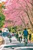 武陵農場 (Instagram:hunterxstevenx) Tags: 台灣 taiwan 台中 taichung 和平區 武陵農場 櫻花 粉紅佳人