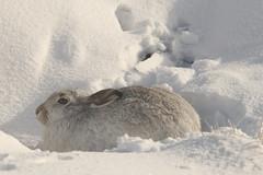 On Winter Form (Derbyshire Harrier) Tags: moorland mountainhare snow 2018 peakdistrict peakpark derbyshire darkpeak february winter wintercoat form lepustimidus