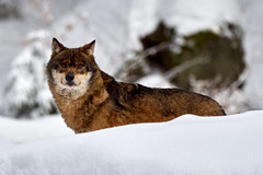 Lupo (railphoto) Tags: bayerische wald canis lupus olympus lupo
