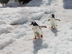 Brown_2017 12 11_0202 (HBarrison) Tags: harveybarrison hbarrison antarctica antarcticpeninsula paradiseharbor brownstation gentoopenguin taxonomy:binomial=pygoscelispapua arctic antarctic arcticantarctic