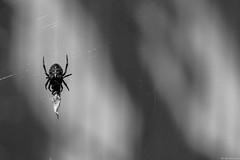 Arachnide-aranéidés-BW-5