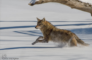 Coyote running over a frozen Fox River.