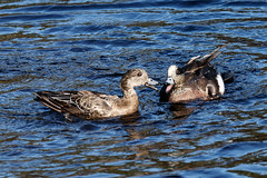 Wigeon Fight - Male vs Juvenile (Frankyboy5) Tags: anasamericana mareca americana stanleypark lostlagoon duck