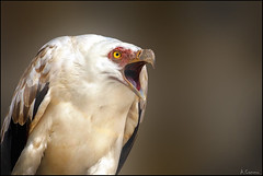 El grito (antoniocamero21) Tags: retrato foto color sony plumas pico ojo palmero buitre ave macro