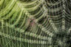 Spider Webs (Mark Wasteney) Tags: happywebwednesday hww webs spiderwebs depthoffield dof dew waterdrops