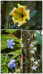 Morning four (LeftCoastKenny) Tags: madagascar day14 andasibe andasibenationalpark flowers wildflowers