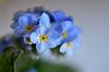 Vergissmeinnicht - forget-me-not (Ernie :+)) Tags: vergissmeinnicht forgetmenot myosotis macro flower blue dof schärfentiefe tiefenschärfe nikon d7000 d7k nikond7000 afsvrmicronikkor105mmf28gifed