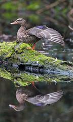 Reflet - Reflection (bboozoo) Tags: nature animal wildlife canard duck colvert mallard reflet reflection canon6d tamron150600 aile wing