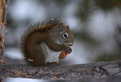 Snack Time for this American Red Squirrel - 3268b+ (teagden) Tags: american red squirrel americanredsquirrel snow jenniferhall jenhall jenhallphotography jenhallwildlifephotography wildlifephotography wildlife nature naturephotography photography wild nikon winter snowing fallingsnow montana montanawildlife pinecone snack eating treebranch tree