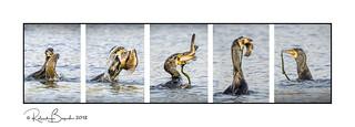 Bird swallows huge fish whole