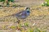 JWL4632  American Horned Lark.. (jefflack Wildlife&Nature) Tags: americanhornedlark larks avian animal animals wildlife reservoirs countryside nature birds wintervagrant wildbirds hornedlark