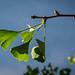 Leaf. Ginkgo.