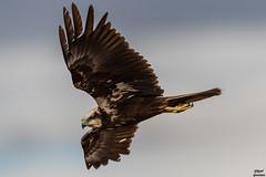 GAD_7979_17-02-18-1.jpg (jlgad05) Tags: oiseau busarddesroseaux accipitridés accipitriformes circusaeruginosus westernmarshharrier bird