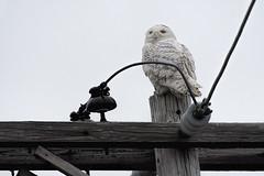ma.snowy owl on pole (donna lynn) Tags: massachusetts essexcounty newjerseyaudubon njaudubon birds birding nature wildlife february winter nikon d500 owls buboscandiacus strigiformes strigidae
