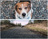 please? (cathy sly) Tags: 365 15365 beagle pup love diptych