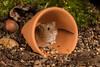Caught ya! (Linda Martin Photography) Tags: libertys hampshire micromysminutus ringwood wildlife harvestmouse uk nature coth naturethroughthelens alittlebeauty ngc coth5 npc