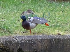 ...and you shake it all about. (Wildlife Terry) Tags: mallards drakes ducks canaltowpath malkinsbank waterfowl sandbach cheshire wildlifeandnature amateurphotography