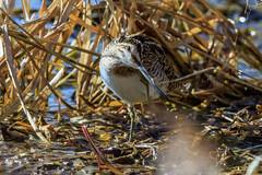 Snipe (warren hanratty) Tags: wildbird warrenhanrattyphotography wildlife nature bird wader gloucestershire wwt slimbridge snipe gallinagogallinago wwtslimbridge