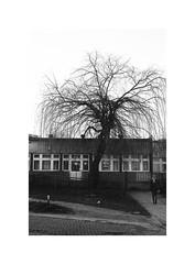 7. Willow (kotmariusz) Tags: willow wierzba drzewo osiedle polska świdnica zima mono monochrome blackandwhite bw 35mm filmphotography olympusom40 ilfordxp2