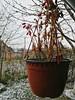 Flowerpot (seki_952) Tags: paprika pepper flowerpot nature