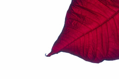 16/365: The fall guy (judi may) Tags: 365the2018edition 3652018 day16365 16jan18 poinsettia poinsettialeaf red plant leaf negativespace white whitebackground macro canon7d texture highkey minimalism minimal simplicity simple