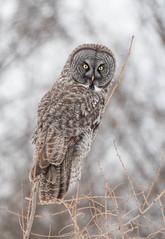 Great Gray Owl (Laura Erickson) Tags: saxzimbog stlouiscounty strigiformes strigidae birds greatgrayowl species places minnesota strixnebulosa