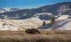 Bull moose that recently lost its antlers (scepdoll) Tags: grandtetonnationalpark jackson jacksonhole kelly wyoming backlitcoyote bisoninheadlights coyote moose owl snow winter