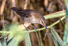 I got you! (Cristiano Tedesco) Tags: select dragonfly reed warbler cannareccione canneto sunrise salento puglia caccia bird uccello birds birding colors