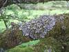 Parmelia saxatilis on branch (Philip_Goddard) Tags: lichens foliose parmelia corticolous dartmoor southwestengland england unitedkingdom britain british britishisles greatbritain uk europe