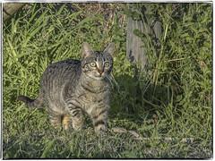 GATO (BLAMANTI) Tags: gatos felinos animales camuflaje araña hermoso canon canonpowershotsx60 blamanti