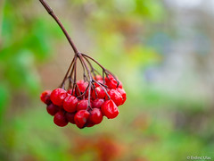 Red Berry (✦ Erdinc Ulas Photography ✦) Tags: lenstagger red berry berries green yellow smooth background konica netherlands forest park dutch holland nature hoorn wood tree macro bokeh hexagon bessen rood classic focus