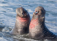 Bull Elephant Seal Battle 3 (Rick Derevan) Tags: miroungaangustirostris elephantseal northernelephantseal california sansimeon piedrasblancas ocean surf battle dominance