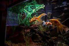 fishy (severalsnakes) Tags: kansas kansascity pentax rokinon1428 saraspaedy animal aquarium fantail fish fishtank goldfish hamanashiki k1 manualfocus pearlscale pet