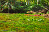 Lily Pads in Sunlight (HSS) (buffdawgus) Tags: botanicalgarden waimeavalley lilypadpond landscape hawaiianflora canonef24105mmf4lisusm lightroom6 lilypads hawaiianislands topazsw oahu waimeabotanicalpreserve oahunorthshore canon5dmarkiii hawaii