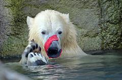 Polarbear Blijdorp BB2A1203 (j.a.kok) Tags: bear beer ijsbeer polarbear noordpool northpole animal arctic mammal zoogdier dier blijdorp ursusmaritimus sizzl todz