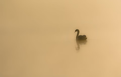 morning mist (jeff.white18) Tags: muteswan swan mornning water silhouette shadow profile outline reflection mist nature wildlife wild langford lake flickr